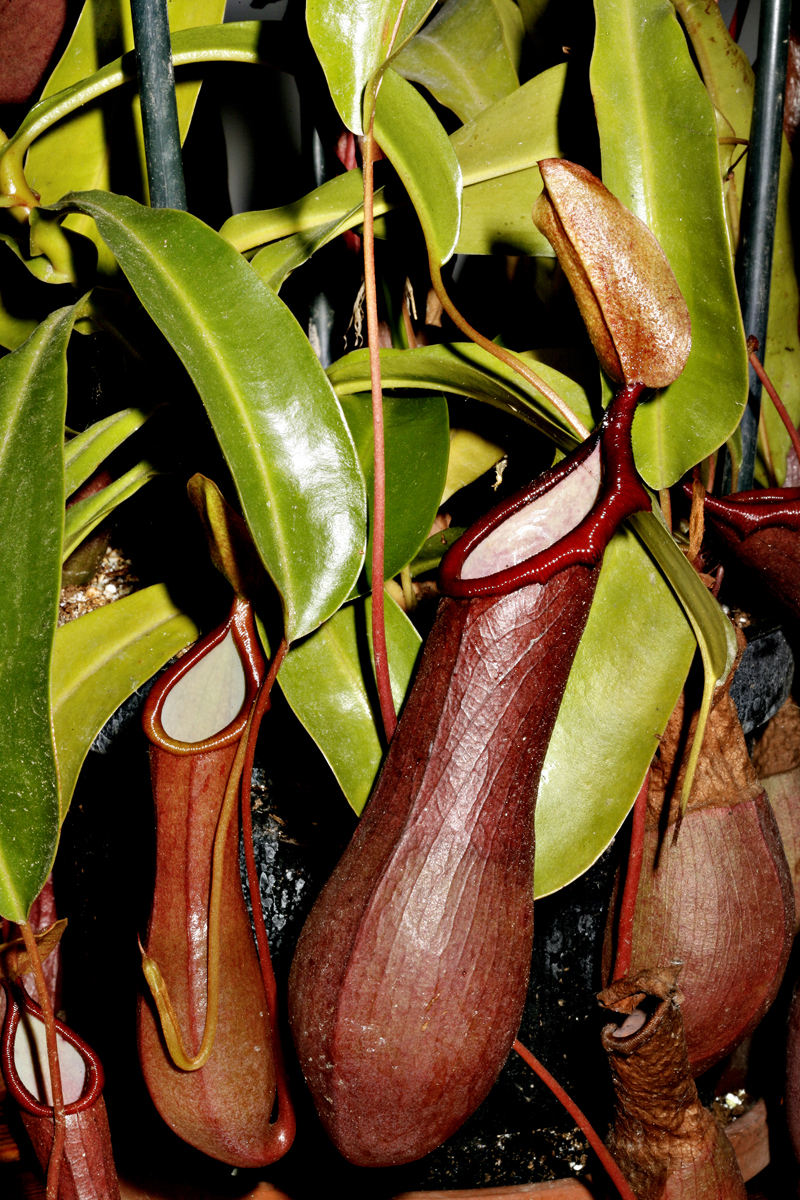 kødædende planter