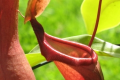 Nepenthes IMG_5401