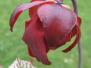S leucophylla