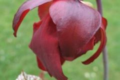 S leucophylla IMG_4631