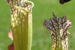 S leucophylla IMG_4668_1
